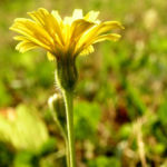 Nickender Loewenzahn Bluete gelb Leontodon saxatilis 02