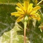 Nickender Loewenzahn Bluete gelb Leontodon saxatilis 06