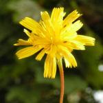 Nickender Loewenzahn Bluete gelb Leontodon saxatilis 08