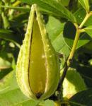 Nordamerikanische Seidenpflanze Frucht stachelig hellgruen Asclepias syriaca 04