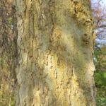 Nordamerikanischer Zuergelbaum Blatt gruen Celtis accidentalis 05