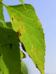 Nordamerikanischer Zuergelbaum Blatt gruen Celtis accidentalis 06