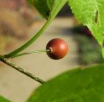 Nordamerikanischer Zuergelbaum Blatt gruen Celtis accidentalis 11