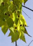 Nordamerikanischer Zuergelbaum Blatt gruen Celtis accidentalis 13