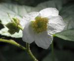 Nutka Himbeere Bluete weiß Rubus parviflorus 02
