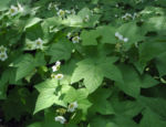Nutka Himbeere Bluete weiß Rubus parviflorus 08
