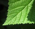 Nutka Himbeere Bluete weiß Rubus parviflorus 13