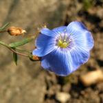 Oesterreichischer Lein Bluete blau Linum austriacum 01