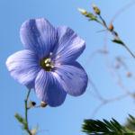 Bild:  Österreichischer Lein Blüte blau Linum austriacum