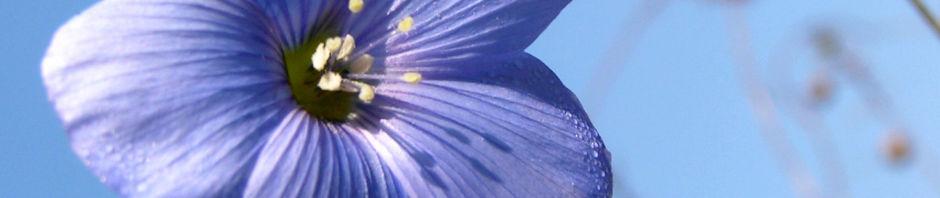 oesterreichischer-lein-bluete-blau-linum-austriacum