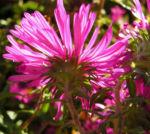 Oktober Margarite Bluete pink Leucanthemella maximum 08