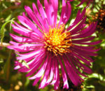 Oktober Margarite Bluete pink Leucanthemella maximum 09