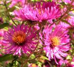 Oktober Margarite Bluete pink Leucanthemella maximum 11