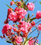 Oleander Strauch Bluete pink gefuellt Nerium oleander 08