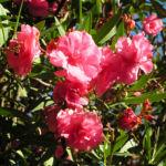 Oleander Strauch Bluete pink gefuellt Nerium oleander 14