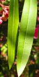 Oleander Strauch Bluete pink gefuellt Nerium oleander 17