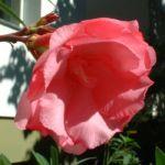 Oleander Nerium Oleander 01