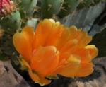Opuntie Bluete gelb orange Opuntia ficus indica 02