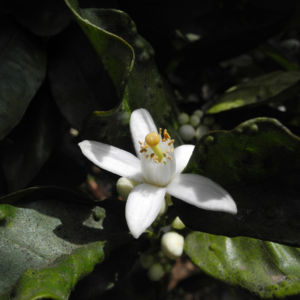 Orange Bluete weiß rosa Citrus sinensis 01