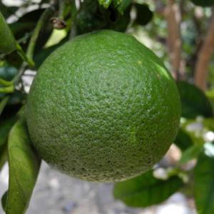 Orange Frucht gruen Citrus sinensis 06