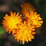 Orangerotes Habichstkraut Bluete orange Hieracium aurantiacum 04