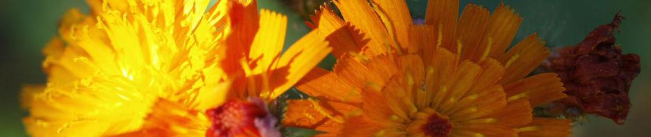 orangerotes-habichstkraut-bluete-orange-hieracium-aurantiacum
