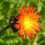 Orangerotes Habichtskraut Bluete orange Hieracium aurantiacum 03