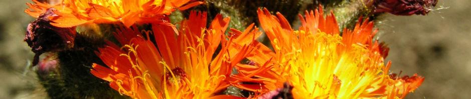 orangerotes-habichtskraut-bluete-orange-hieracium-aurantiacum