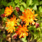 Orangerotes Habichtskraut Bluete Hieracium aurantiacum 01