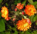 Orangerotes Habichtskraut Bluete Hieracium aurantiacum 05