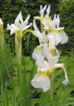 Orientalische Schwertlilie Bluete weiss gelb Iris orientalis Frigia 07