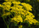 Orientalisches Steinkraut Bluete gelb Allyssum orientale 05
