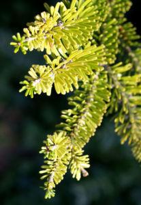 Ostsibirische Tanne Baum Zapfen braun gruen Abies sibirica 02