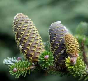 Ostsibirische Tanne Baum Zapfen braun gruen Abies sibirica 04