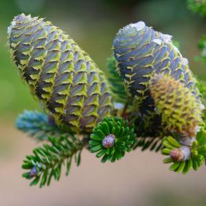 Ostsibirische Tanne Baum Zapfen braun gruen Abies sibirica 10