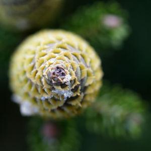 Ostsibirische Tanne Baum Zapfen braun gruen Abies sibirica 11
