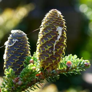 Ostsibirische Tanne Baum Zapfen braun gruen Abies sibirica 12
