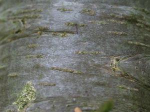 Ostsibirische Tanne Baum Zapfen braun gruen Abies sibirica 17