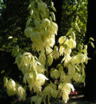 Palmlilie Bluete weiss Yucca gloriosa 01