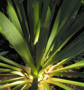 Palmlilie Bluete weiss Yucca gloriosa 02