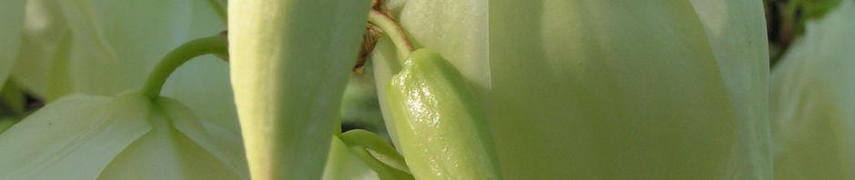 Anklicken um das ganze Bild zu sehen  Kerzen-Palmlilie Blüte weiß Yucca gloriosa