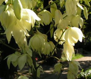 Palmlilie Bluete weiss Yucca gloriosa 07