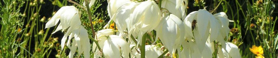 seifen-palmlilie-bluete-weiss-yucca-elata