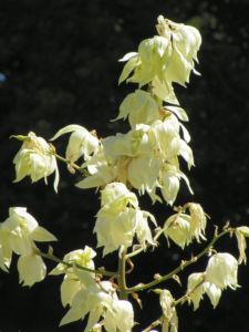 Palmlilie Josua Baum Bluete weiss Yucca elata 06