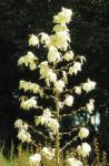 Palmlilie Josua Baum Bluete weiss Yucca elata 15