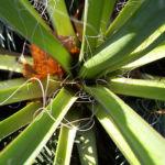 Bild:  Palmlilie - Yucca