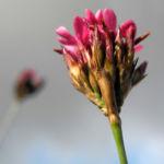Pannonische Karthaeuser Nelke Bluete pink Dianthus pontederae 07
