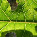 Papaya Blatt Blatt gruen Carica papaya 06