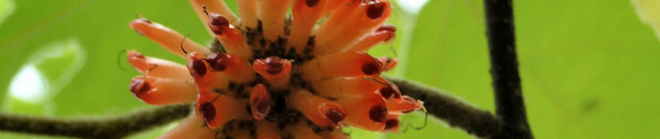 papiermaulbeerbaum-frucht-orange-broussonetia-papyrifera