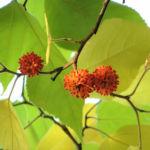 Papier Maulbeerbaum Frucht orange Broussonetia papyrifera 04